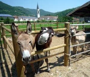 Attività assistita con gli asini presso la fattoria