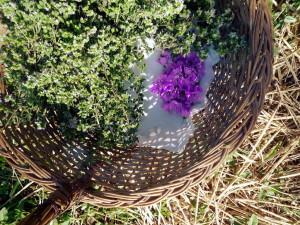 E' iniziata la raccolta delle erbe aromatiche alla Fattoria Sociale Gianni Canton